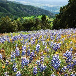 Figueroa Mountain Wildflowers – Greeting Card