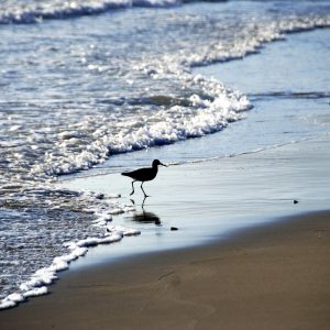Willets in the surf, Santa Barbara – Greeting Card