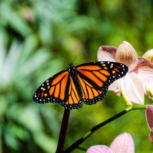 Monarch and orchid, Santa Barbara – postcard