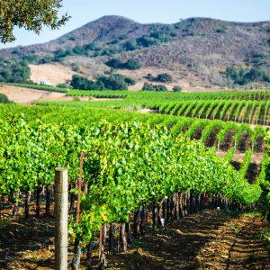 Santa Barbara County Vineyard – postcard
