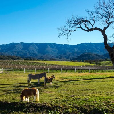 Cards and postcards archives love from santa barbara vineyards shetland ponies and donkey in the santa ynez valley greeting card m4hsunfo
