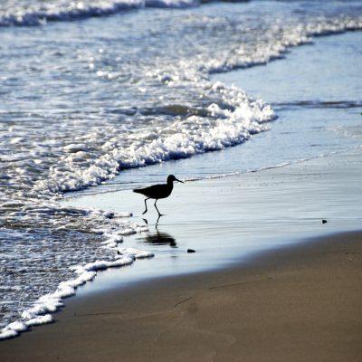Willets in the surf, Santa Barbara – Greeting Card