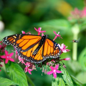 Monarch Butterfly at the Butterflies Alive! Exhibit – Greeting Card