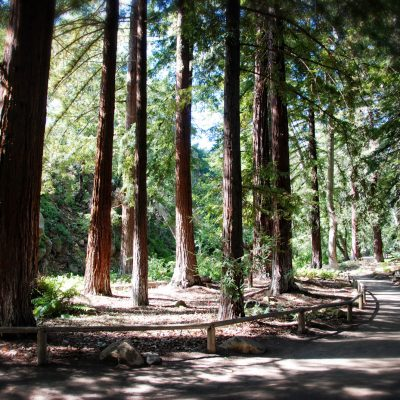 Redwood Grove, Santa Barbara Botanic Garden – postcard