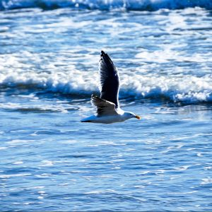Seagull cruising the beach, Santa Barbara – Greeting Card