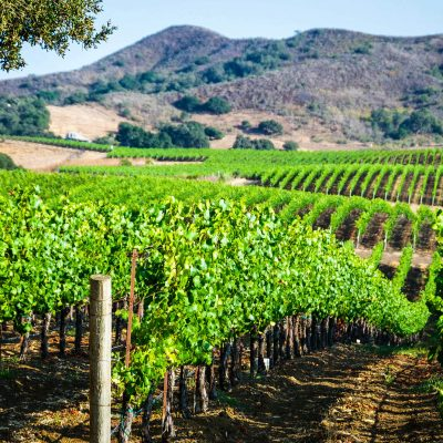 Santa Barbara County Vineyard – postcard